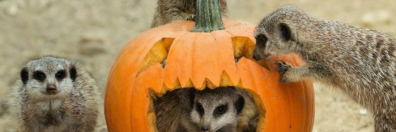 What animal represents Halloween?